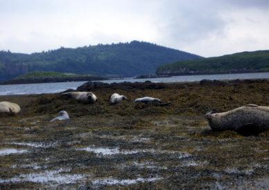 146-foche